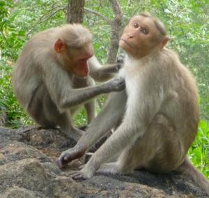 Monkeys Grooming Trailside