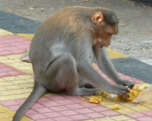 Monkey Gorging on Rice