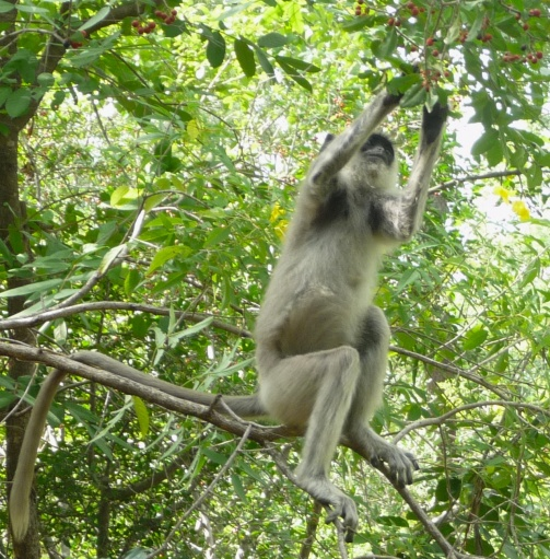 Langur Monkey berries