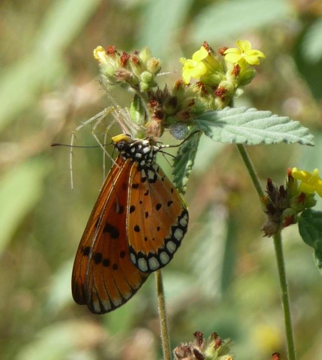 A Butterfly Seen Walking Down from Skandashram, Tiruvannamalai, South India