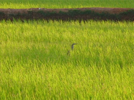 An Egret Foraging for Rice, Tiruvannamalai, South India