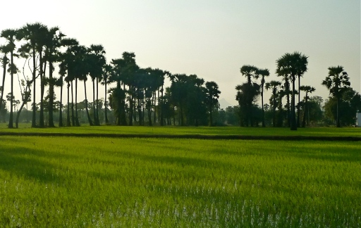 Rice Fields, Tiruvannamalai, South India