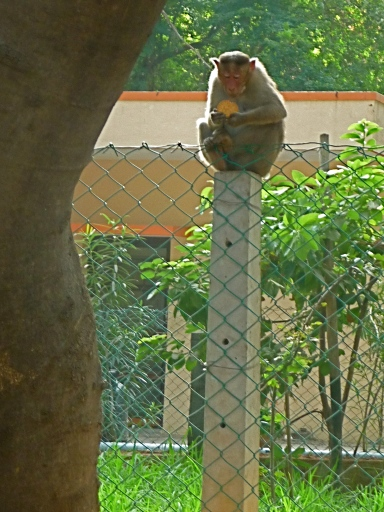 Monkey Sitting on Stone Pole Holding Biscuit, Tiruvannamalai, South India