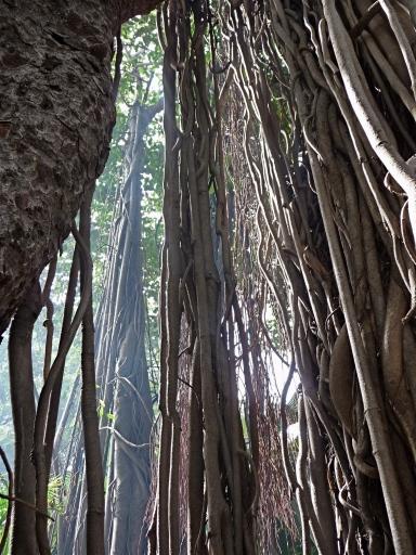 Long Ariel Roots on Banyan Tree, Tiruvannamalai, South India