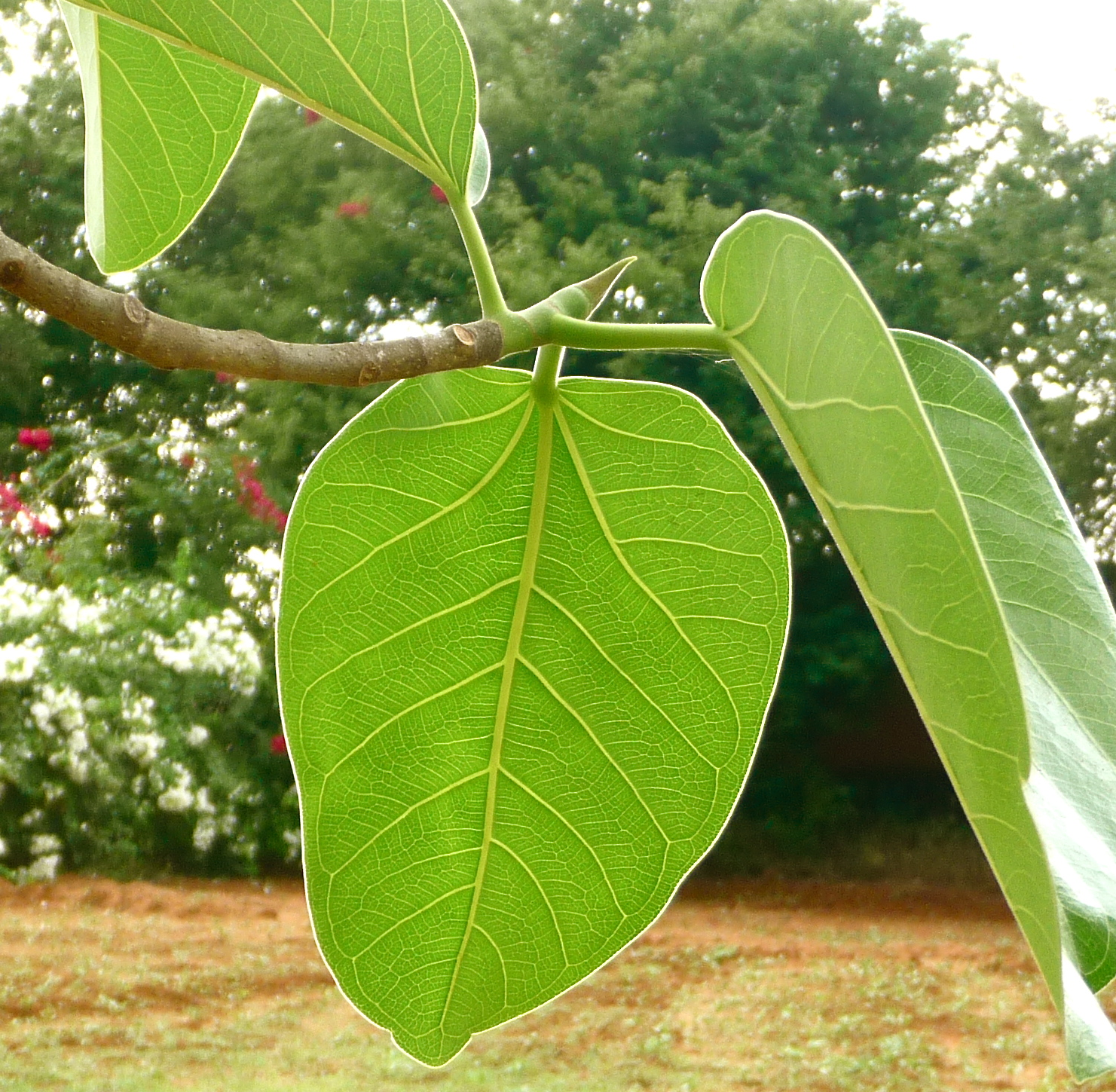 banyan tree leaf - photo #1
