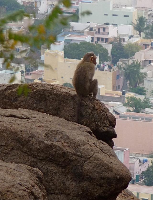 Monkey Contemplating Cement Jungle, Tiruvannamalai, South India