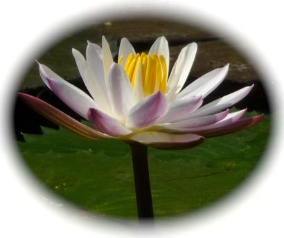 White Lotus PInk Tips_2