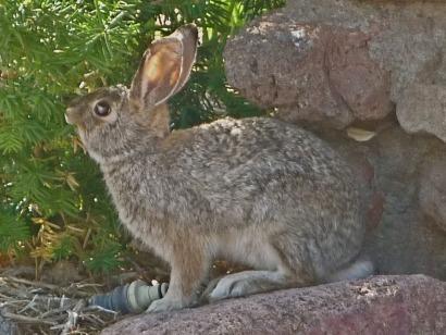 Rabbit Eating Greens for Breakfast