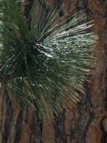 Pine Tingling