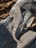 Lizard Blend