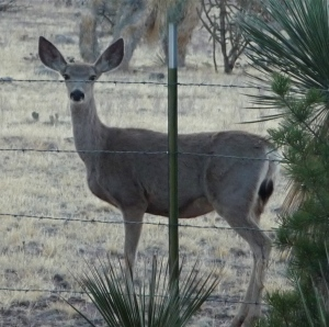 Female Deer Foraging in the Desert