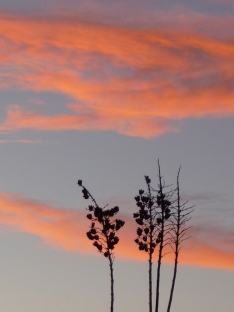 Yucca Against the Sky