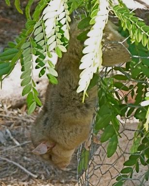 Hanging Desert Rat