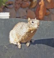 Squirrel on Compost Bin