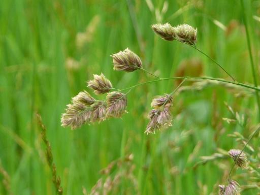 Waving Grass, Fairfield, Iowa