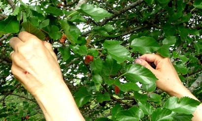 Hands in the Berry Tree