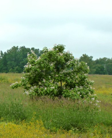 Tree in a Meadow