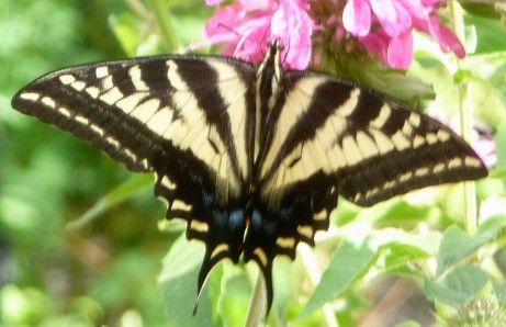 Butterfly Alights in Forest Falls CA Garden