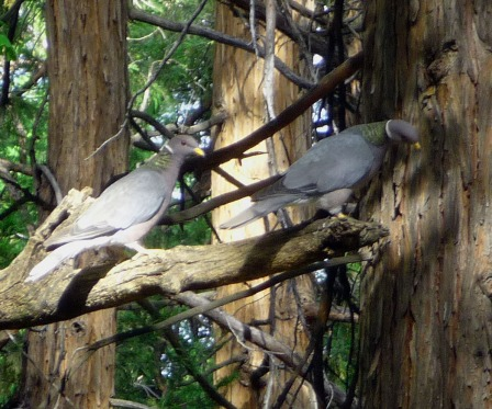 pigeons in tree