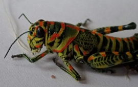 Colorful Cricket in Release